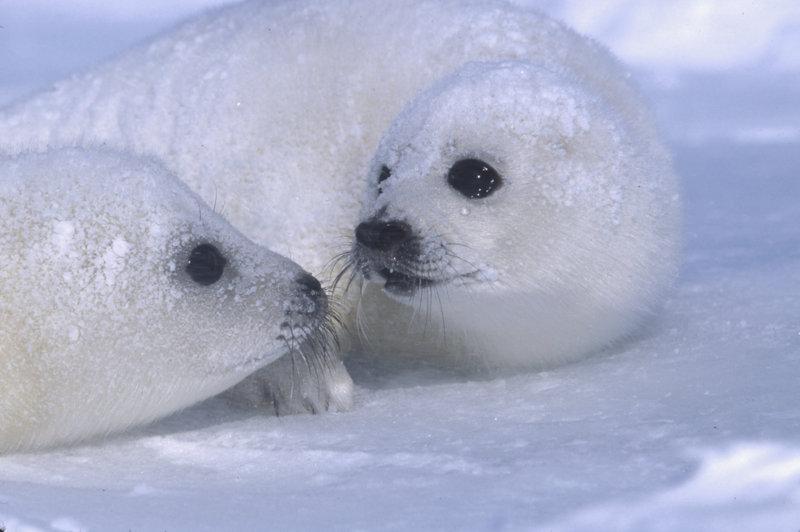 Foche sul ghiaccio
