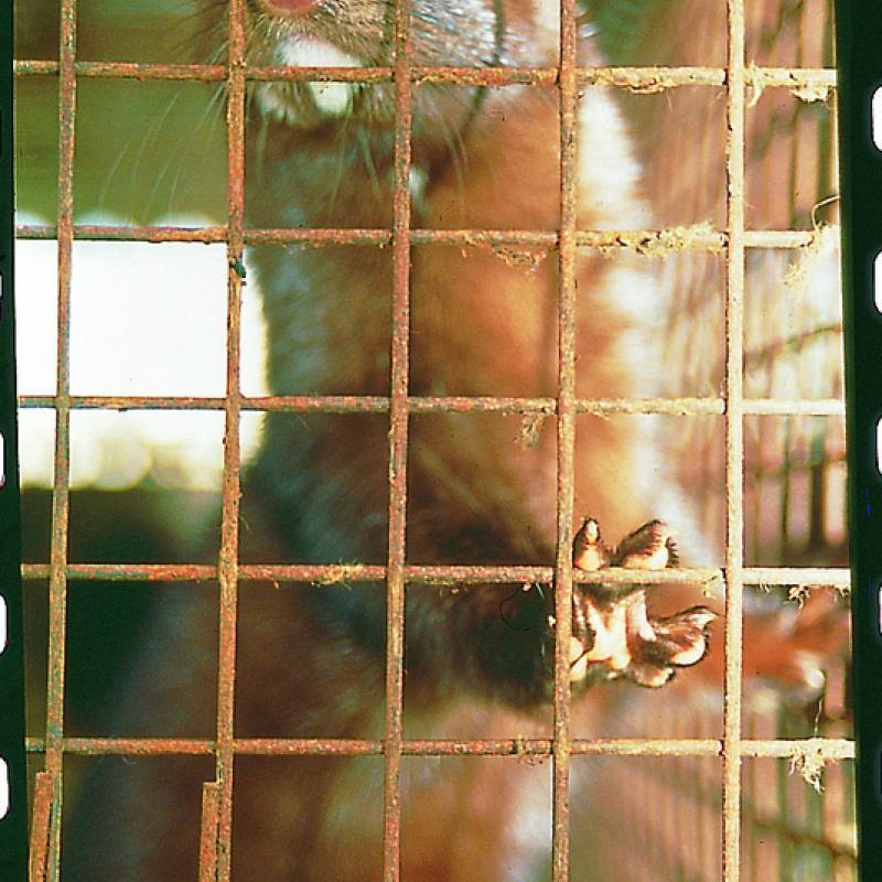 Visone in gabbia