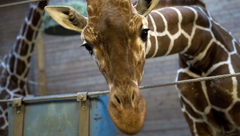 Ucciso il piccolo Marius: orrore nello zoo di Copenhagen