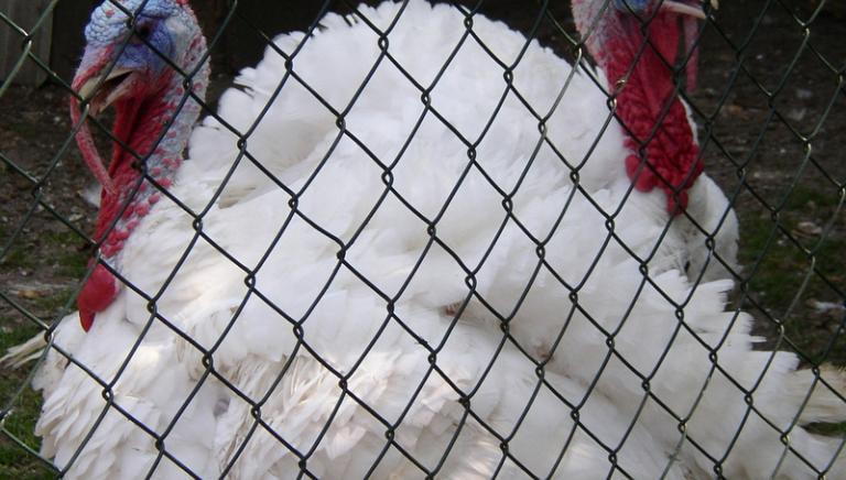 Torture negli allevamenti di tacchini