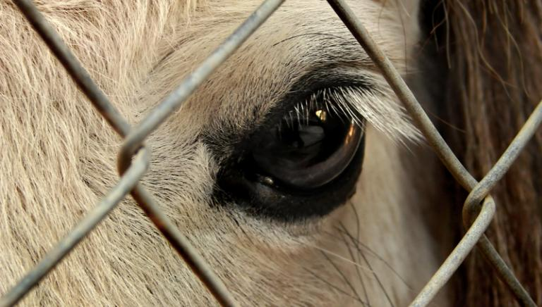 Mucche maltrattate in provincia di Cuneo