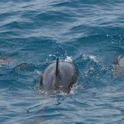 Tanti i delfini avvistati anche oggi (foto con drone, Marco Di Marco)