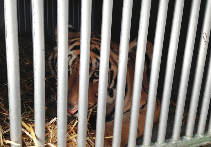 La tigre aspetta di perlustrare la nuova sistemazione