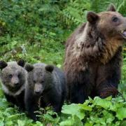 L'Orsa Daniza e i suoi cuccioli