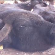 Una bufala sfinita