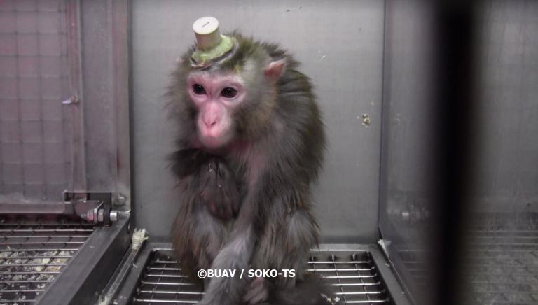 Scimmie vivisezionate: in Germania come in Italia violenze inutili e inaccettabili