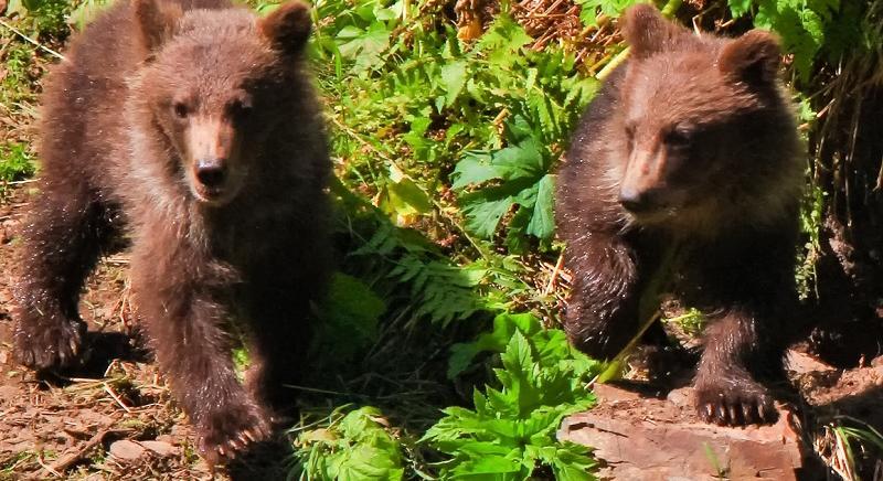 #Daniza, Procura di Trento ci notifica provvedimento: sì autopsia indipendente e CFS assume tutela cuccioli, con forestale provinciale