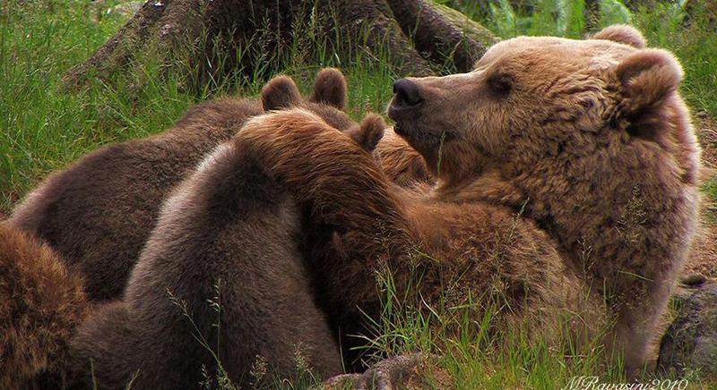 Inchiesta di Repubblica sulla reclusione degli orsi in Trentino