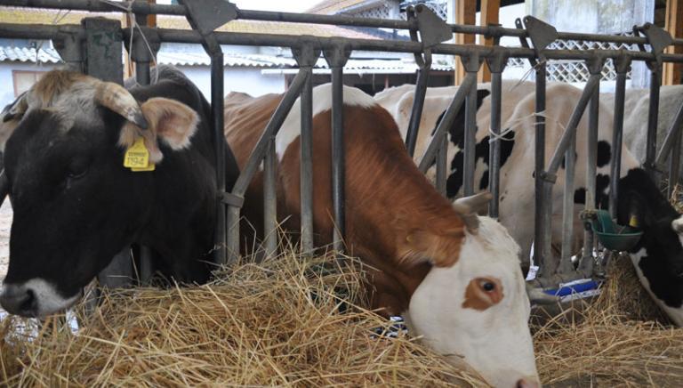 """Blitz dei NAS: scoperta diffusa illegalità negli allevamenti di mucche """"da latte""""."""