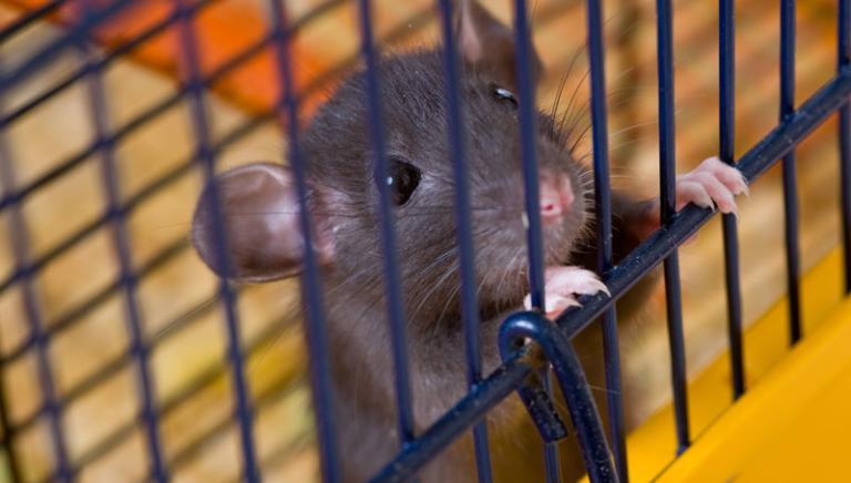 Anche la genomica dimostra che il topo non è un buon modello per l'uomo