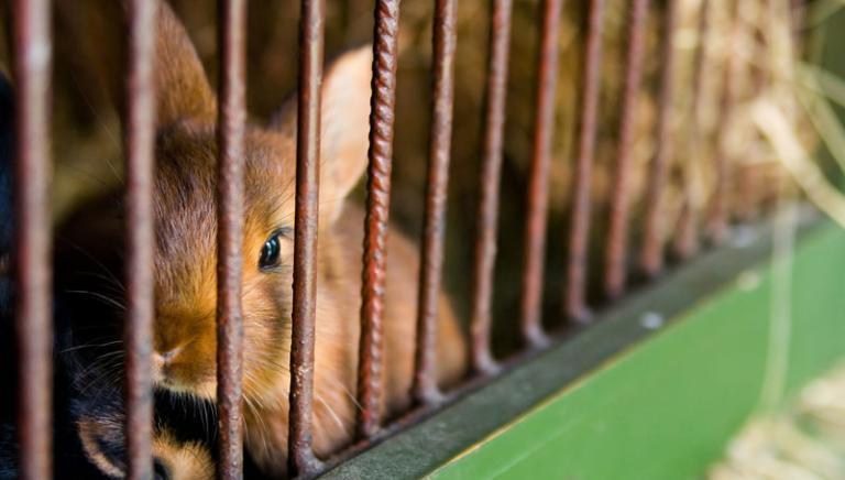 Commissione UE verso alternative ai test sui conigli: 18.000 animali da salvare