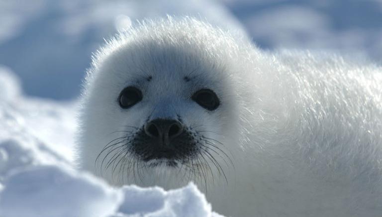 Norvegia, il Parlamento taglia le sovvenzioni ai cacciatori di foche