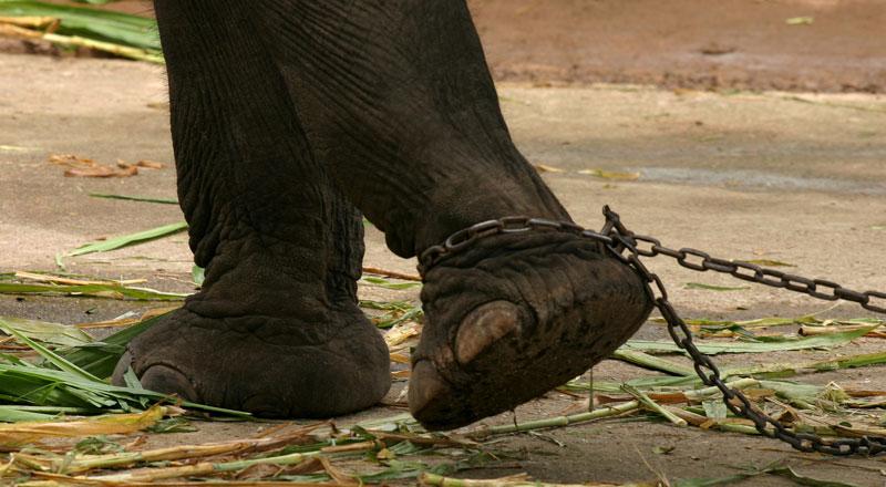 Elefanti a catena