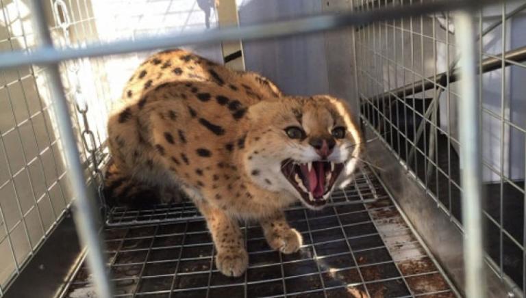 Il Tribunale di Bolzano conferma il sequestro del gattopardo Chiku