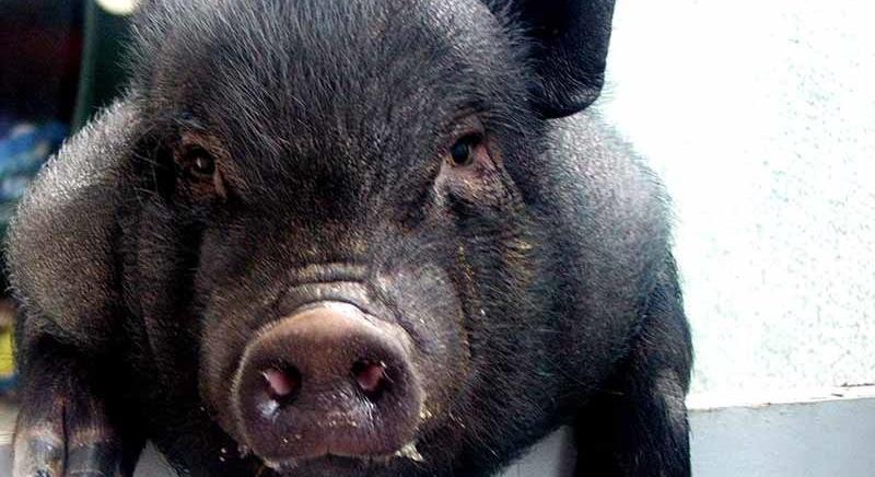 Trento. Saremo parte civile nel processo per l'uccisone del maialino Ettore