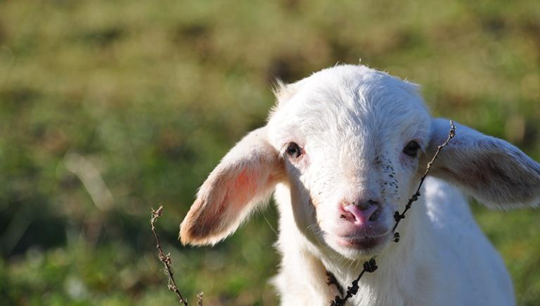 """Pasqua: """"Lascialo vivere"""" flash mob LAV per salvare agnelli e capretti"""