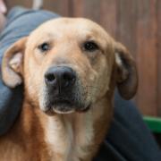Bobby: circa 5 anni, 40 kg. &lt;br /&gt; E&rsquo; preferibile che venga inserito in una famiglia che abiti in un appartamento, che riesca a seguirlo costantemente, in grado di dedicargli tempo e  attenzioni. Non &egrave; particolarmente socievole con altri cani, pertanto, si consiglia inserimento in famiglia senza altri animali.<a href=mailto:infoadozioni@lav.it?subject=Richiedo%20informazioni%20-per:%20Bobby style=color:#f57f20> Richiedi Informazioni</a>