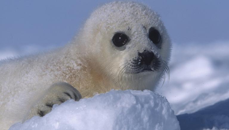 Presenti oggi in Commissione Ambiente del Senato per difendere le foche