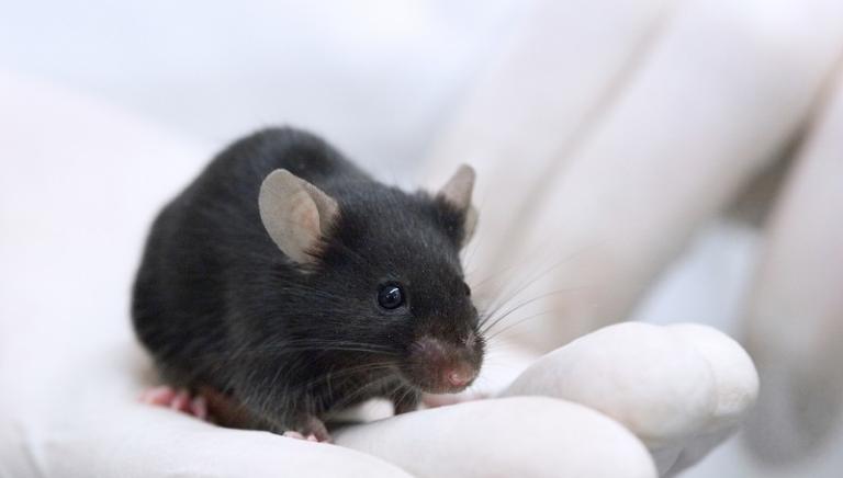 Diabete e vivisezione: ancora inutili studi sui topi, ma nessuna prevenzione