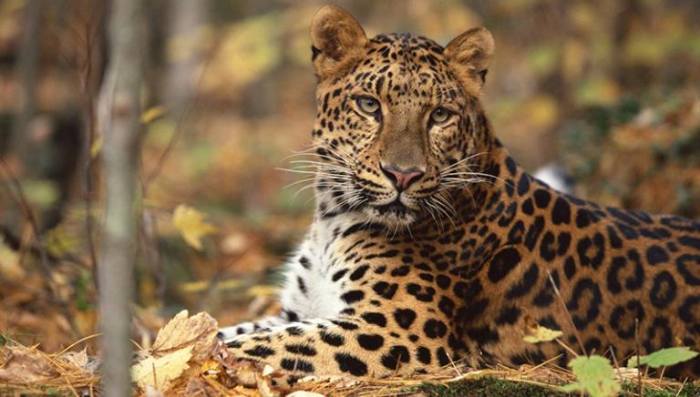 Leopardo fugge dallo zoo. Verificare subito le sue autorizzazioni