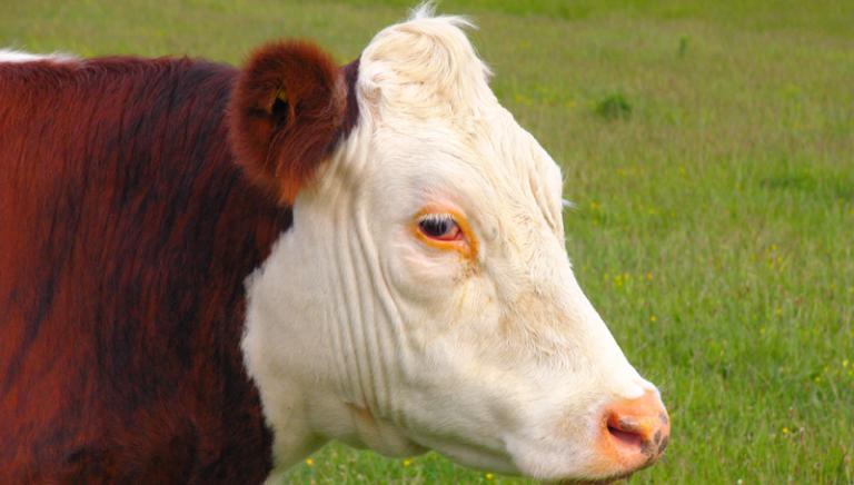 Mucca gravida abbandonata al Parco Nazionale D'Abruzzo.Oggi il processo