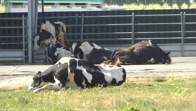 """Mucca """"a terra"""" maltrattata. Nuovo caso in Cassazione"""