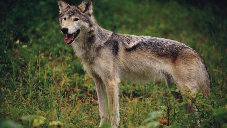 Testa mozzata di lupo nel cuneese: grave gesto intimidatorio