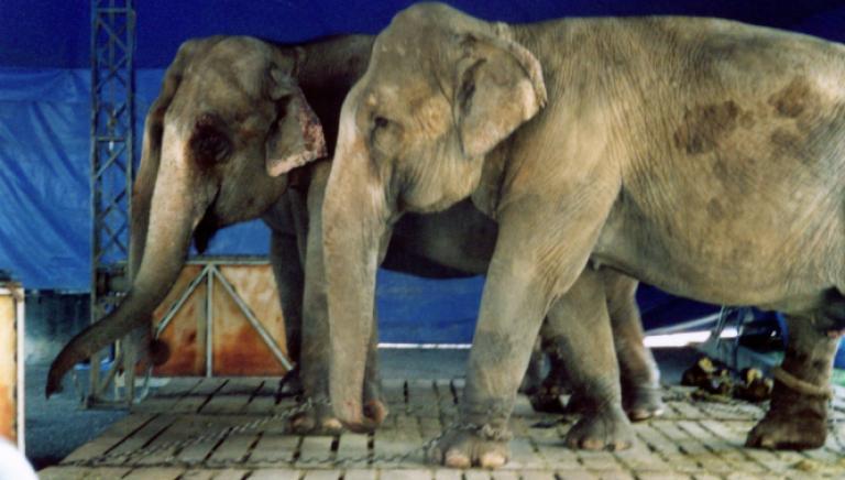 Federazione Europea Veterinari chiede stop all'uso di animali esotici nei circhi