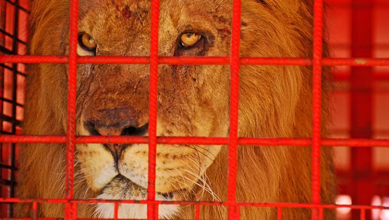 Roma, tre leoni di un circo detenuti in un accampamento