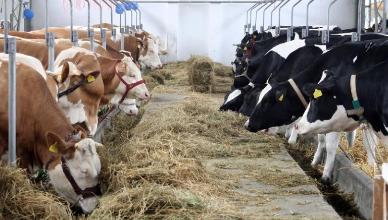 """Mucche """"da latte"""": NAS stroncano traffico di farmaci veterinari illeciti"""