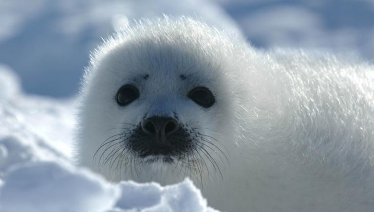 UE: rafforzato divieto al commercio di prodotti di foca. Ottimo risultato!