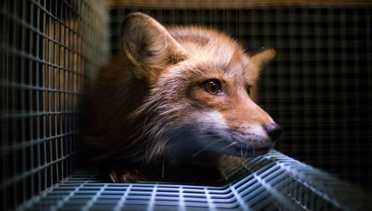 Pellicce: Dossier sofferenza animale presentato al Parlamento UE
