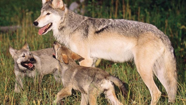 Uccisione lupi, non crediamo alle favole. Ministro Galletti smentisca!