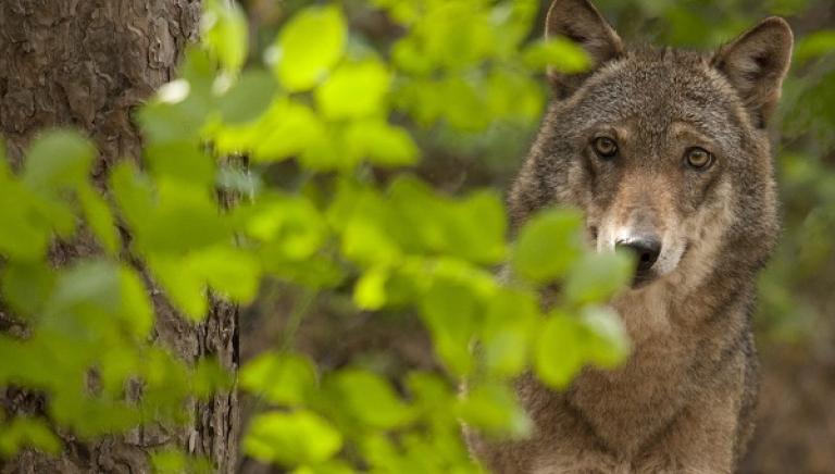 Lupi, Sottosegretario Ambiente apre confronto. Vogliamo il Piano online