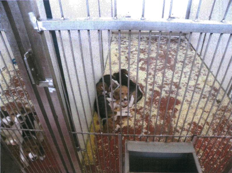 In questa foto: la presenza di beagle allinterno di un box, con evidente sovraffollamento e senza arricchimenti ambientali, con segatura
