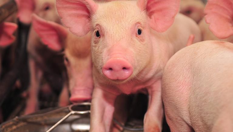 Allevamenti maiali e mutilazioni: 10 marzo la LAV al Parlamento UE