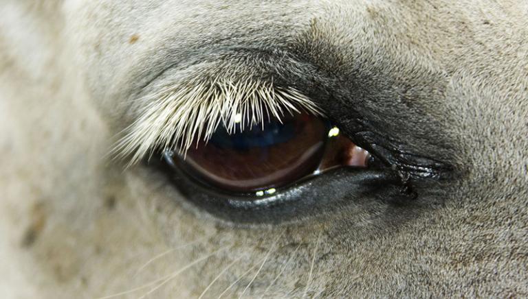 """Muore cavallo alla Giostra della """"Sartiglia"""" ad Oristano"""