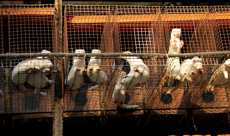 Una vita in gabbia. Foto ©Essere Animali