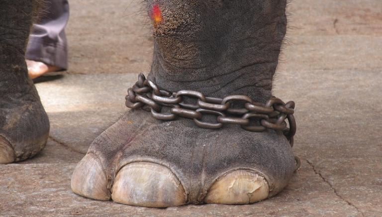 Alessandria, condannato American Circus per cinque elefanti a catena