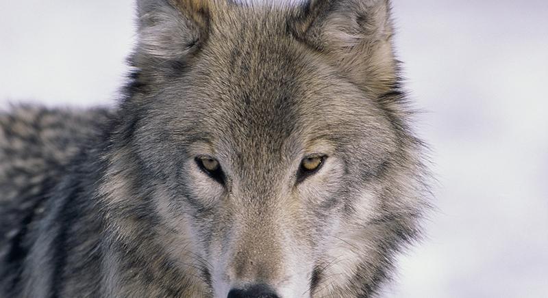 Wolfie, l'arroganza di alcuni, il capo chino di tanti