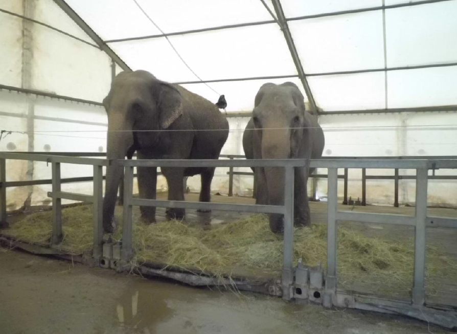 Elefanti al Circo Medrano