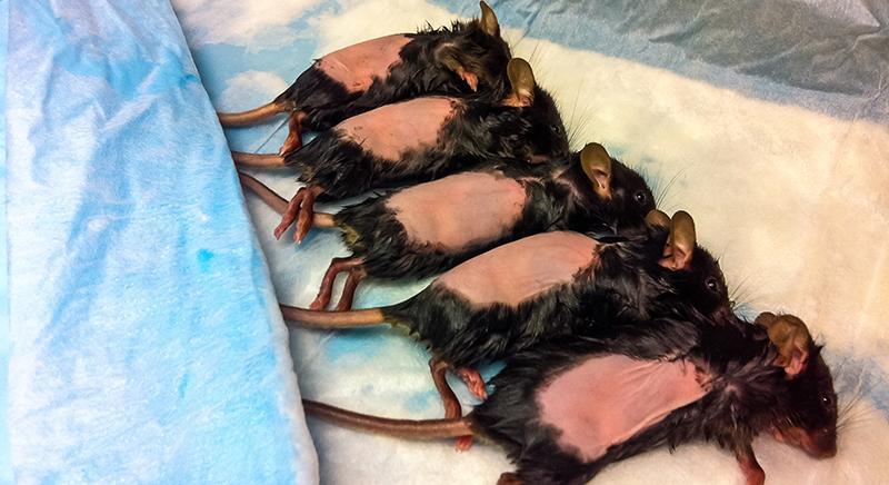 Cassazione conferma che termine vivisezione è riferibile a test animali