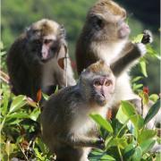 Cruelty Free International - Mauritius Wild Monkey