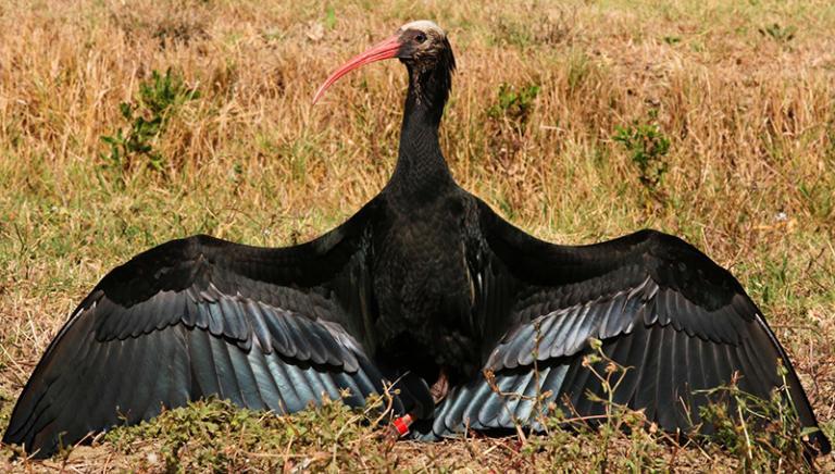 Vittoria al processo per l'uccisione di 2 ibis. Cacciatore condannato!!