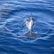 Dolphin Watching: avvistamento di un centinaio di delfini nel Golfo di Taranto