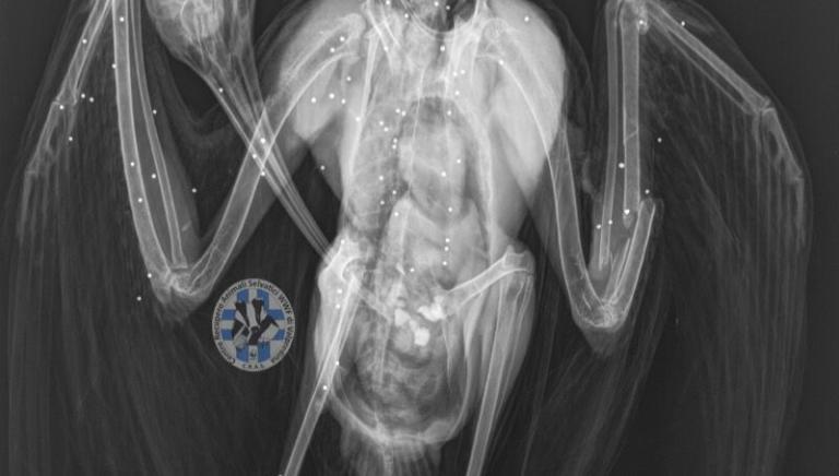 Quarto Ibis ucciso: rivedere procedure di rilascio delle licenze di caccia