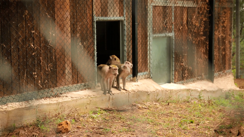 I macachi alla loro prima uscita nel Centro di recupero di Semproniano (GR)