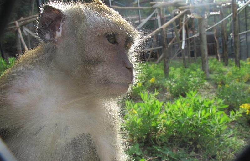 Uno dei macachi, nel Centro di recupero di Semproniano (GR)