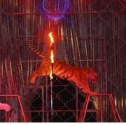 Il salto della tigre in un cerchio di fuoco (foto da web)
