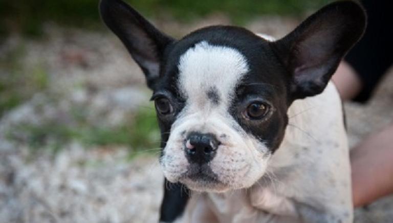Vittoria! Condannato commerciante di Nola (NA) per traffico di cuccioli